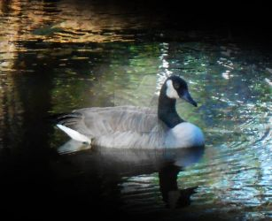Canadian Goose by Persephonesplace