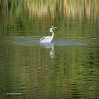 Heron tosses a fish by Mogrianne