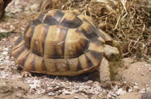 Egyptian Tortoise 002 by Elluka-brendmer