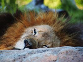 Lazy Days Lion by Squiddgee7734