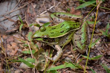 Southern Leopard Frog by sioranth