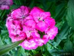 Spring Flower 2012 - 63 by Ingnition