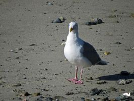 Seagull Walking The Beach by wolfwings1