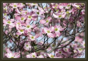 Dogwood spring 2009 by Gooiool