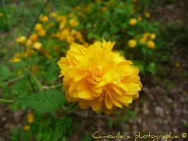Flower yellow by Camouille38