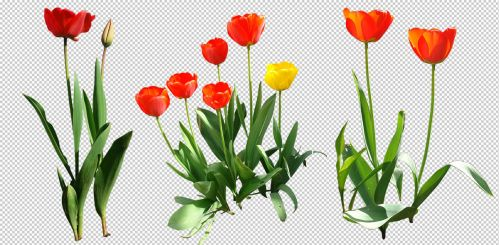 Tulip png by gd08