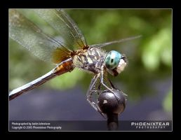 DragonFly by Phoenixtear