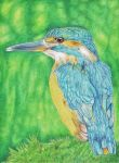 Kingfisher by DrawingNynke