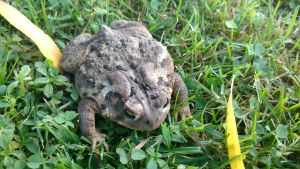 A Fat Toad by MagentaMachina