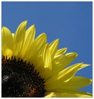 Sunflower by lyub4o