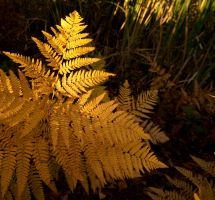 Goldenfern by astutefish