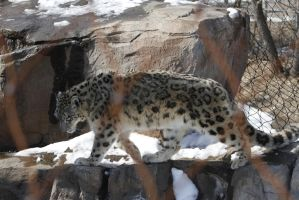 Snow Leopard 42 by CastleGraphics