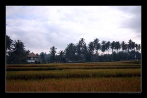 Rice Fields 02 by Keith-Killer