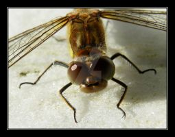 Dragonfly Closeup..... by Pjharps