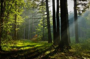 Misty forest by adypetrisor