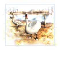 Swans by spns