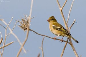 Chaffinch by geostant