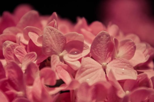 Tickle Me Pink by ifsantag