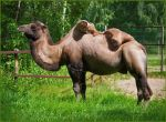 Grazing camel by Triumfa