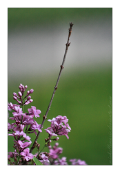 Lilac branch by MichelleMarie