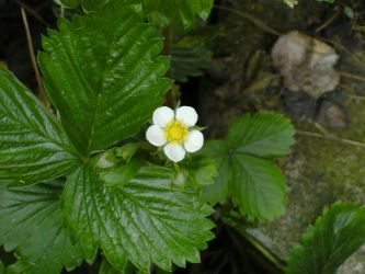 Strawberry White by gayling