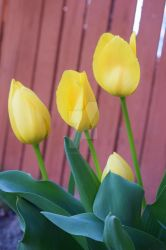 Tulips by SoulsofTheDoomed