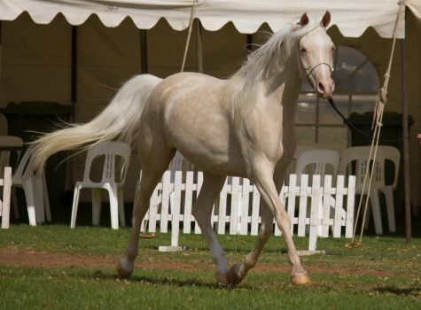 STOCK - TotR Arabians 2013-58 by fillyrox