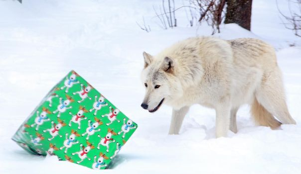 Gray Wolf Stock 16: Holiday by HOTNStock