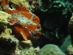 Lurking Frogfish by Meagharan