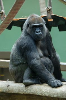 Zoo Knoxville - Lowland Gorilla by scottyboy-72