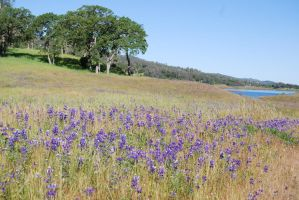 Blue Lupine Meadow by xxtgxxstock