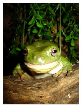 Smiling Green Tree Frog by kayne