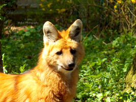 Maned Wolf - 8 by Delragon