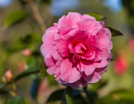Perfect Camellia by ARC-Photographic