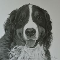Commission - Bernese mountain dog 'Jess' by Captured-In-Pencil