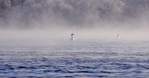 Swans on the river bann by younghappy