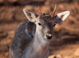 Young Deer by deseonocturno