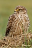 Close Kestrel by thrumyeye
