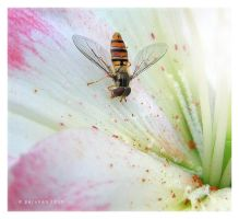 Flower fly by Pajunen