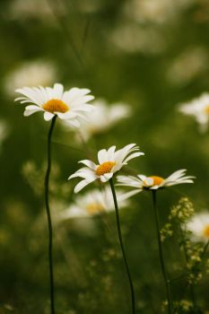 Oxeye daisies 01 by Golden-Plated