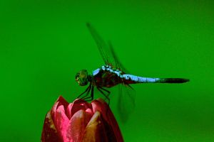 Same Dragonfly Another shot by AjDev