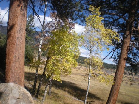 Aspen Trees in the Rocky Mountains by TroyTuloLover