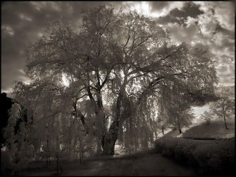Old Willow Tree... by MichiLauke