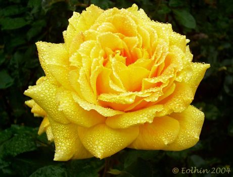 Jeweled Yellow Rose 223 by Eolhin