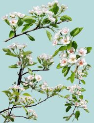 Pear blossoms png by flowerpowerstock
