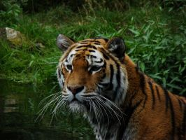 Sibirian tiger in the water by Alistanniel