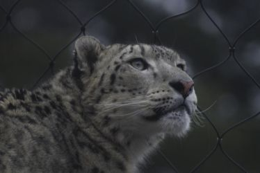 Snow Leopard 9 by CastleGraphics