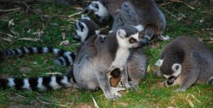 Lemur Mother and Cubs 2 by NicamShilova