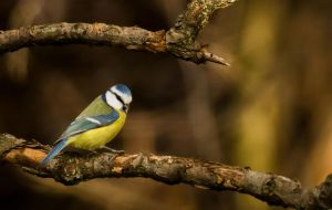 Blue tit by michalfrgelec