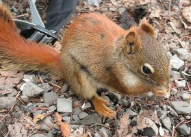 Wounded Mum Squirrel by JocelyneR
